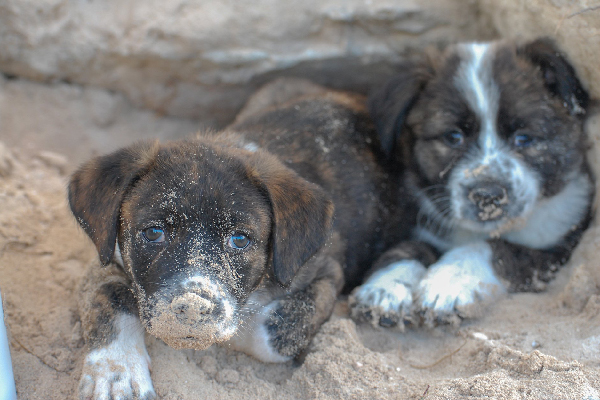 What to Know About Adopting & Residing With Potcake Canines