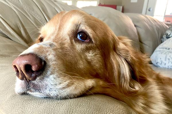 A sick senior dog.