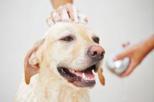 lab bathing