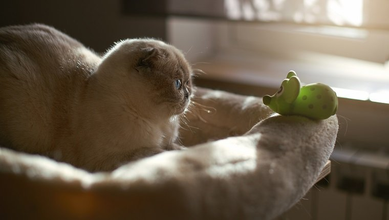 Scottish Fold kitten playing with rubber rat
