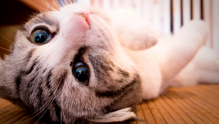 a kitten(Munchkin) is lying on his back, looking at the camera.