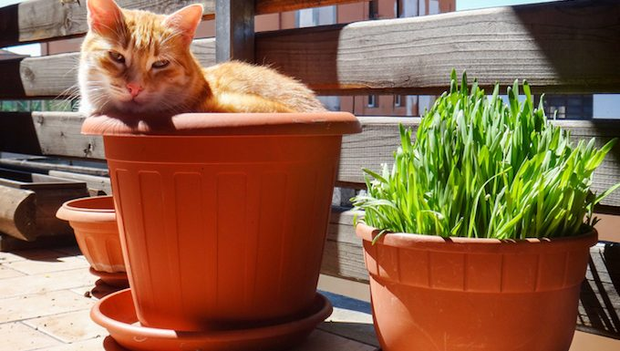 cat in pot next to cat thyme