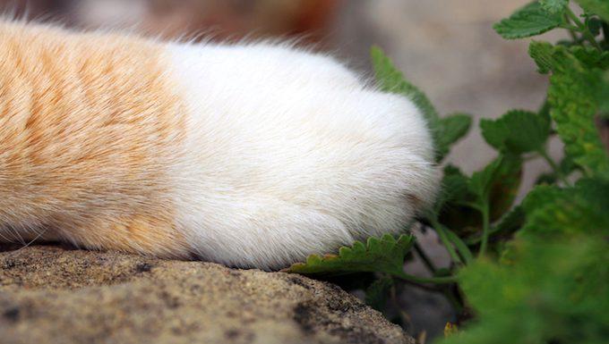 cat paw next to catnip plant