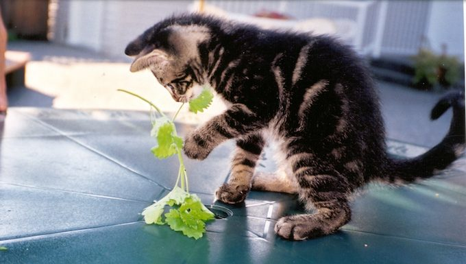 kitten playing with plant