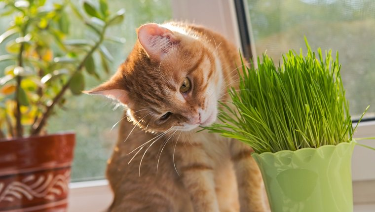 Cat sniffing and munching a vase of fresh catnip