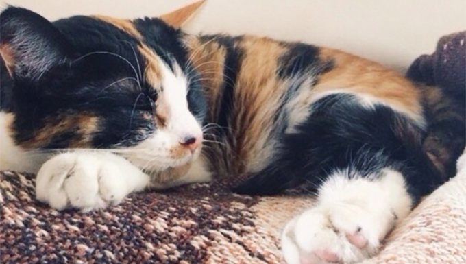Pookie the calico cat