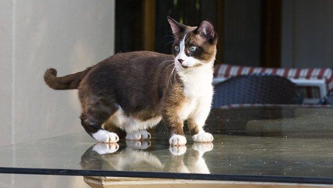 dwarf cat