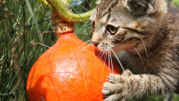 cat with claw on pumpkin