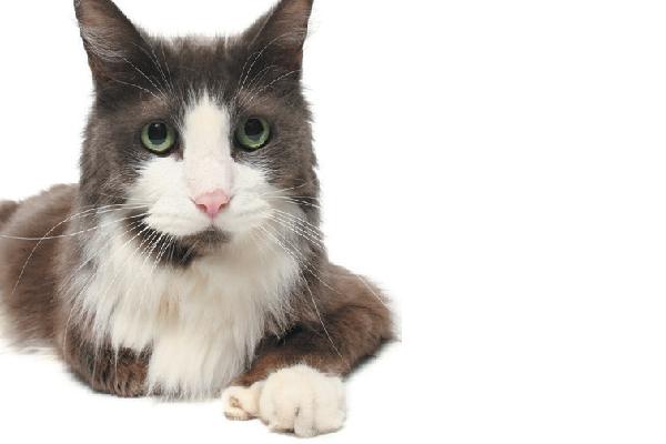 Polydactyl cat Owen.