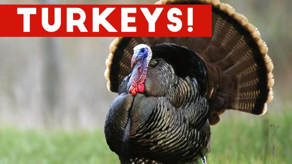 Funniest Gobbling Turkey Video Compilation November 2016 | Humorous Pet Movies