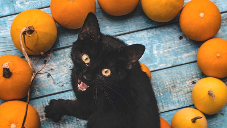 Portrait Of Angry Cat Sitting By Pumpkins On Table During Autumn
