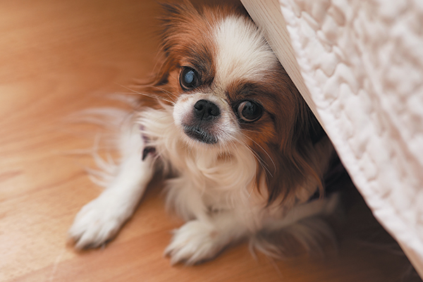 Understanding noise phobias will help you better understand your dog. Photography ©alexkich | Getty Images.