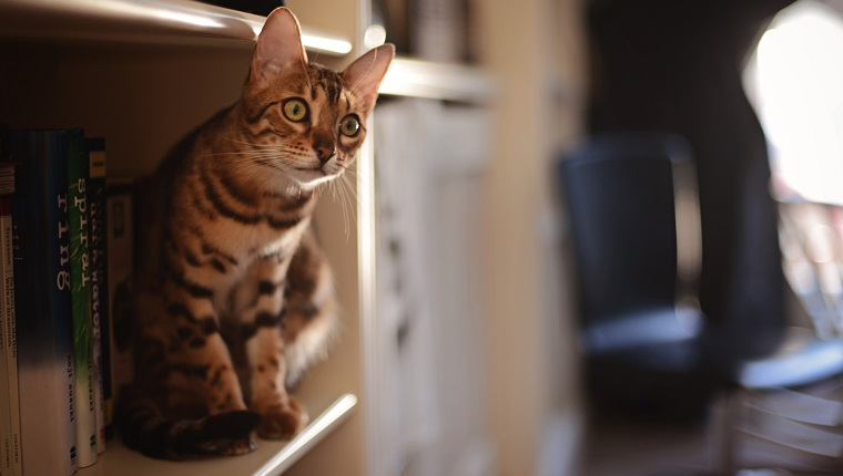 Brown spotted/striped Bengal cat perched on a bookshelf beside some books.