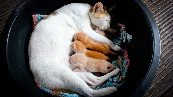 cat lying on blanket nursing kittens