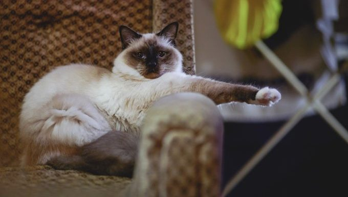 Birman kitten standing on sofa, maybe suffering from separation anxiety