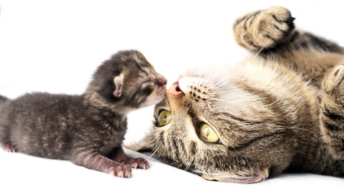 cat playing with kitten. spaying or neutering is the best way to prevent unwanted kittens.