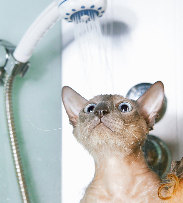 A Peterbald cat in a shower