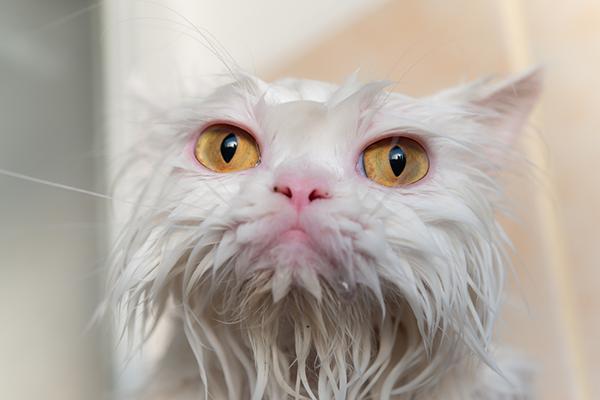 A soaking-wet white cat