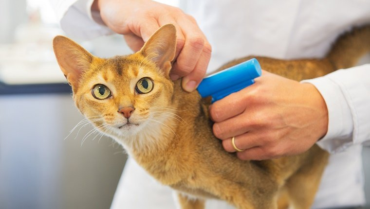 An orange cat gets microchipped by a vet.